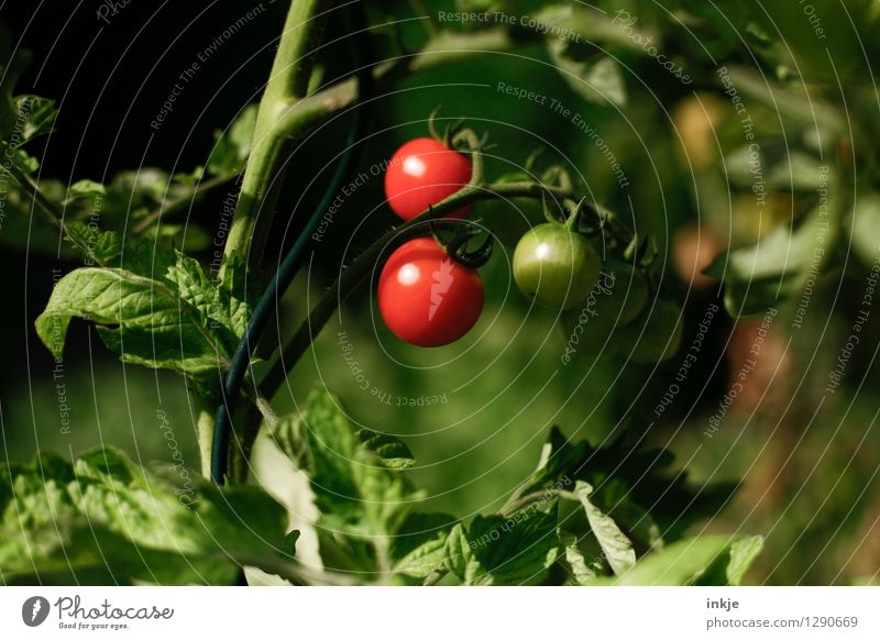 tomatoes Food Vegetable Tomato Nutrition Organic produce Nature Summer Plant Agricultural crop tomato plant Garden Hang Fresh Healthy Delicious Natural Juicy