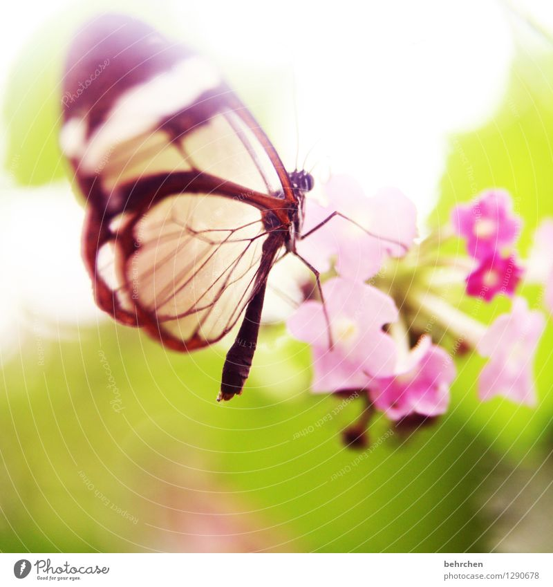 elflike Nature Plant Animal Spring Summer Beautiful weather Flower Leaf Blossom Garden Park Meadow Wild animal Butterfly Wing glass wing butterfly 1 Blossoming