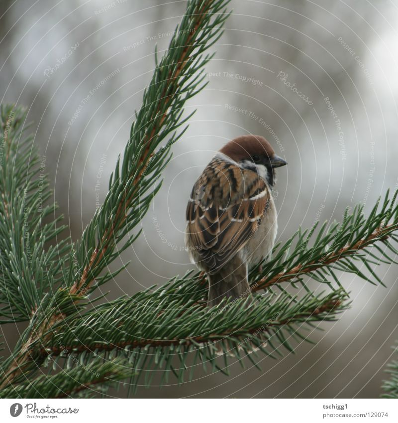 a bird comes flying! Bird Tree Fir tree Animal Sparrow Nature