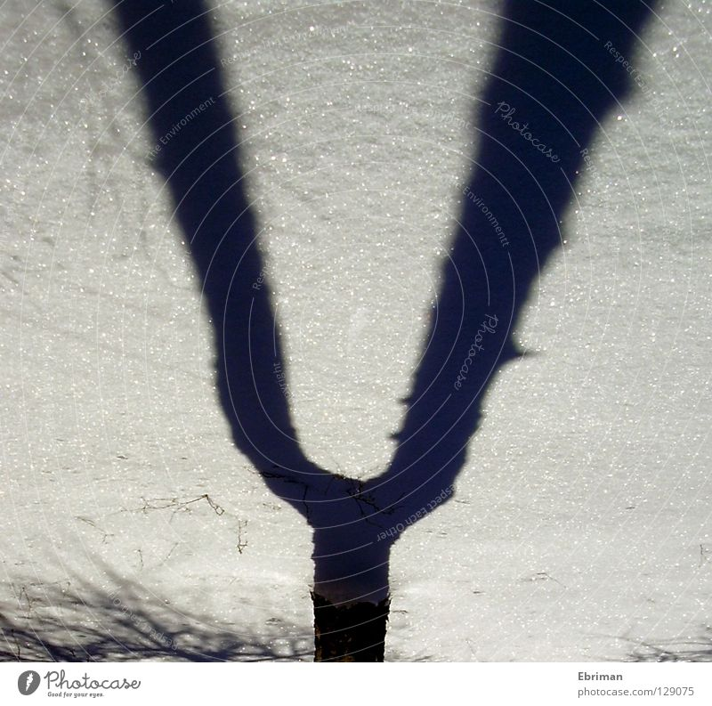 tuning fork Tree Music Birch tree Branchage Winter White Black Tree bark Cold Ice Shadow Fork Grown Concert Twig Snow Tracks Voice Nature Glittering Tree trunk