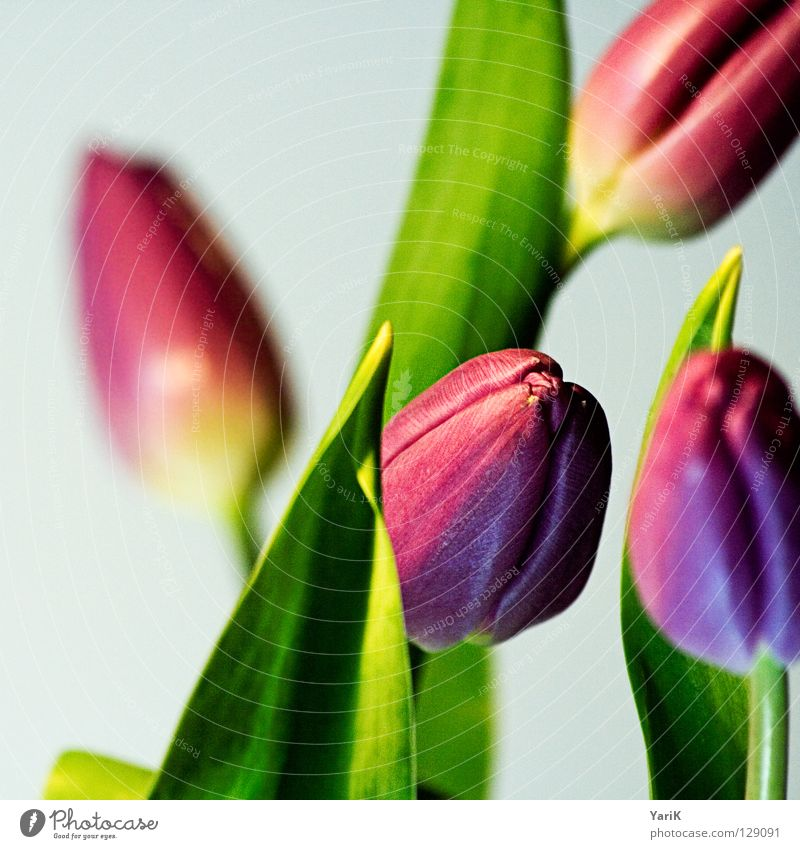 flower power A Tulip Flower Violet Pink Green Spring Force Multicoloured Blossom Colour saturation Contrast Bright