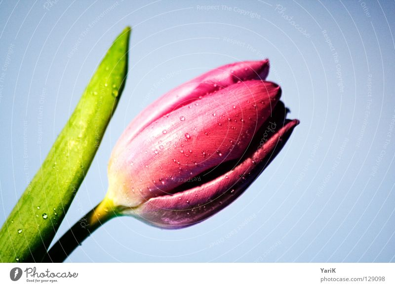 Flower Colour Blossom Spring Pink Wet Drops of water Force Stalk Damp Tulip