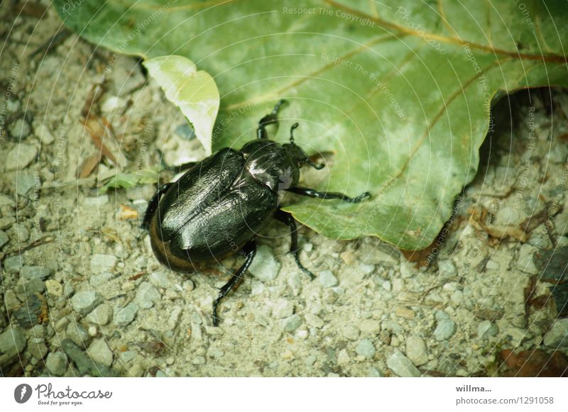 beetle on sheet | 0815 AST Leaf Beetle leaf horn beetle Rose beetle hermit Russia beetle Crawl Green Black Insect forest dwellers Habitat Colour photo