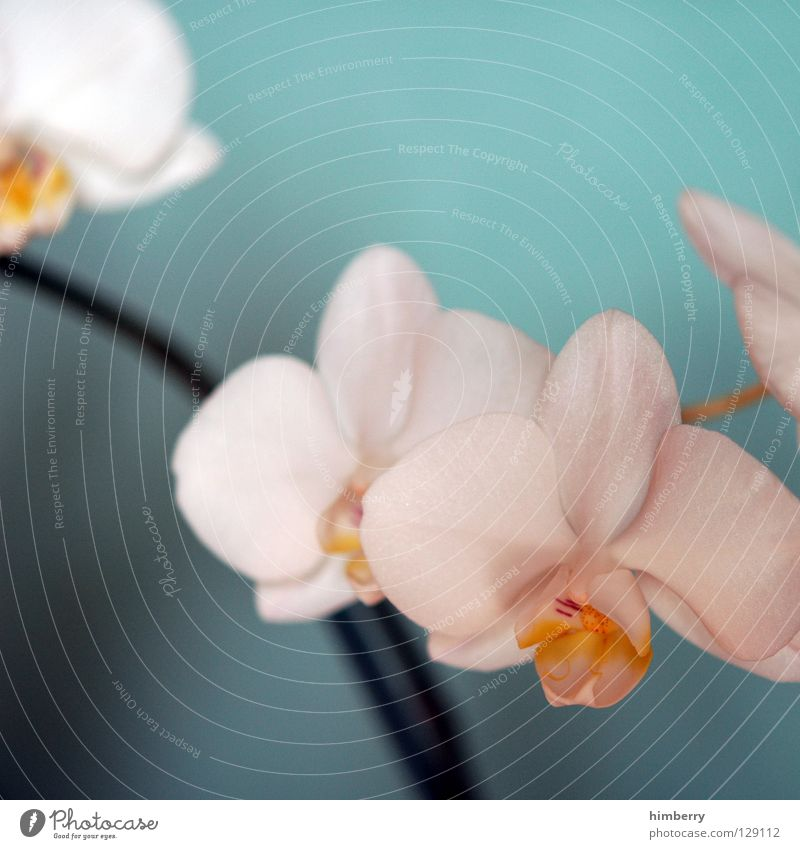 hessian easter orchids Flower Blossom White Blossom leave Botany Summer Spring Fresh Growth Plant Red Background picture Orchid Transience Beautiful