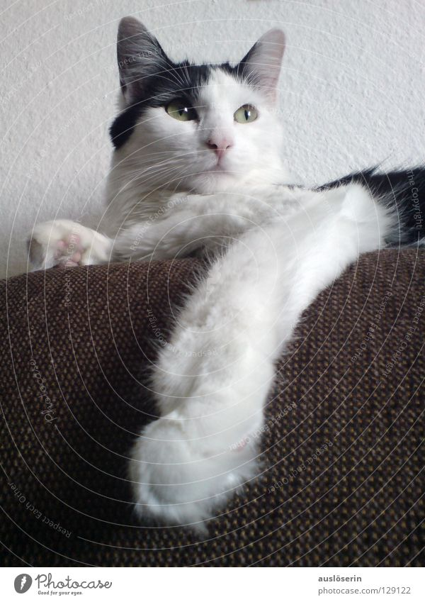 Cat Animal Hair and hairstyles Feet Posture Pelt Sofa Paw Mammal King Domestic cat Meow