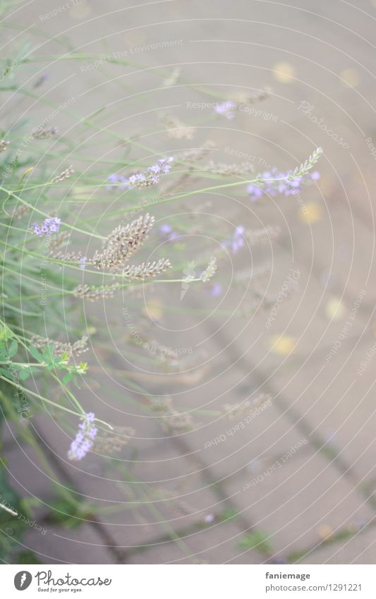 withered lavender Nature Plant Summer Bushes Bright Faded Limp Lavender Blossoming Gray Violet Paving stone Green Bright green Delicate Light green Muddled