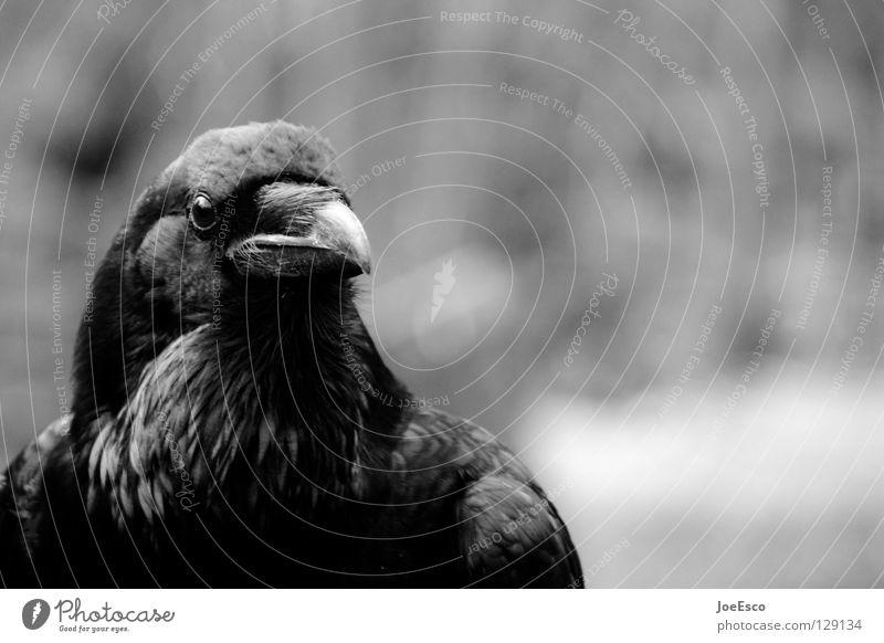 Nature White Beautiful Animal Black Bird Flying Wild animal Glittering Wait Esthetic Feather Strong Depth of field Crow Raven birds