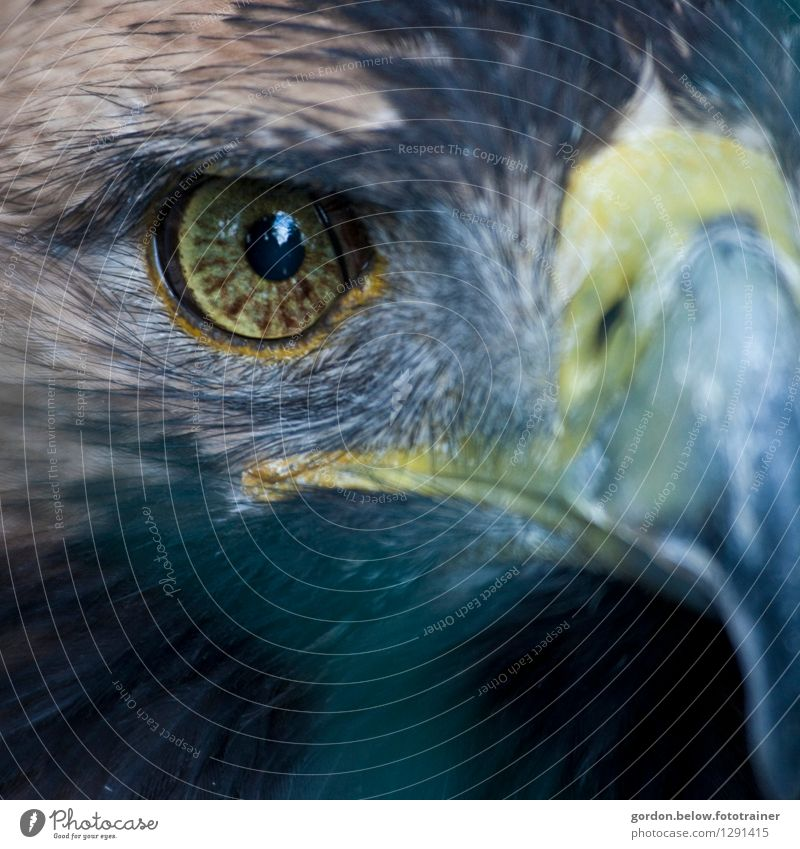 one-eye Farm animal Wild animal Animal face Eagle 1 Hunting Exceptional Fantastic Strong Blue Brown Gray Black White Willpower Might Brave Determination Life