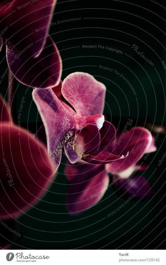 Flower Colour Dark Blossom Spring Lamp Power Pink Wet Growth Violet Blossoming Damp Orchid Glow Flourish
