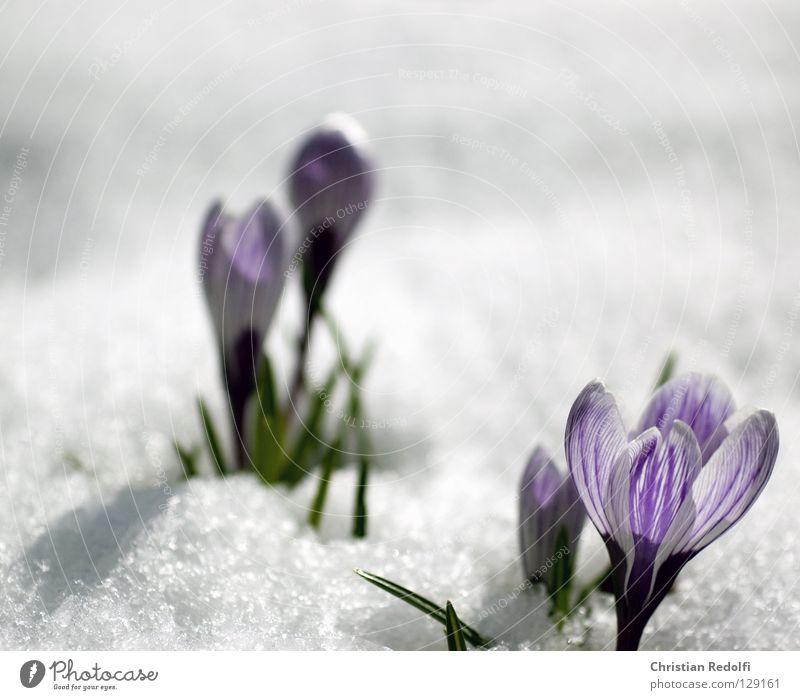 but now really spring Spring Green Black Plant Blossom Crocus Violet Bulb herald of spring springtime pote flowers Garden Snow Blue blue striped Onion