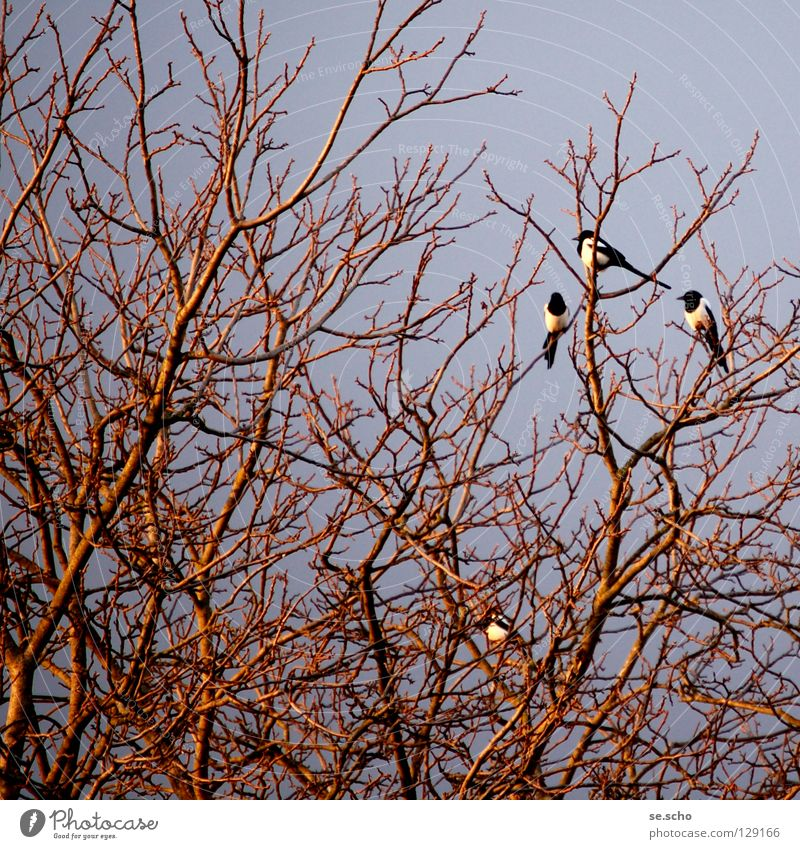 """Schäck-schäck-schäck"" Black-billed magpie Raven birds Bird Tree Branchage Sleeping place Twilight Evening To talk messenger of the gods Twig branch Dusk Review"