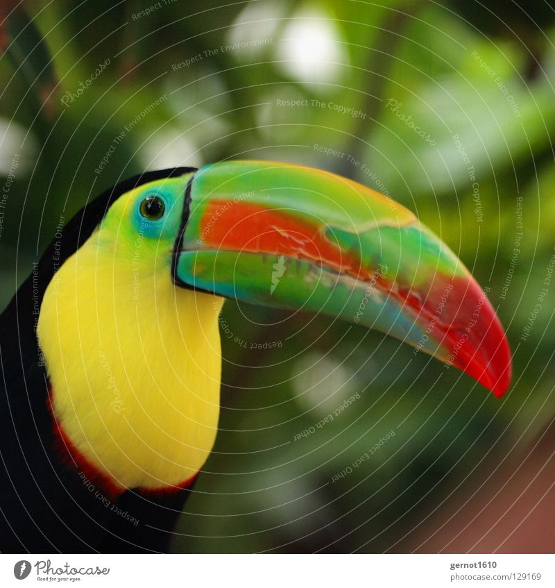 The nose of a man ... Bird Beak Multicoloured Red Green Yellow Black Virgin forest Zoo Animal Boredom South America tucan colorful bird Observe Eyes