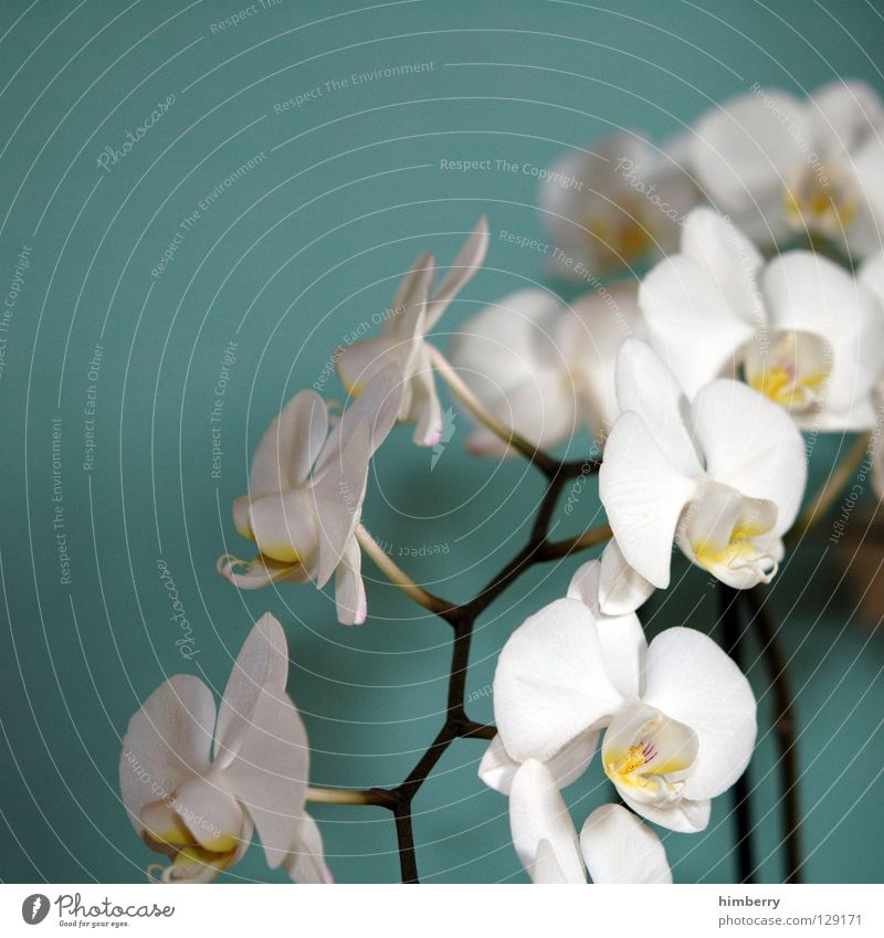 hessian easter orchids II Flower Blossom White Blossom leave Botany Summer Spring Fresh Growth Plant Red Background picture Orchid Transience Beautiful