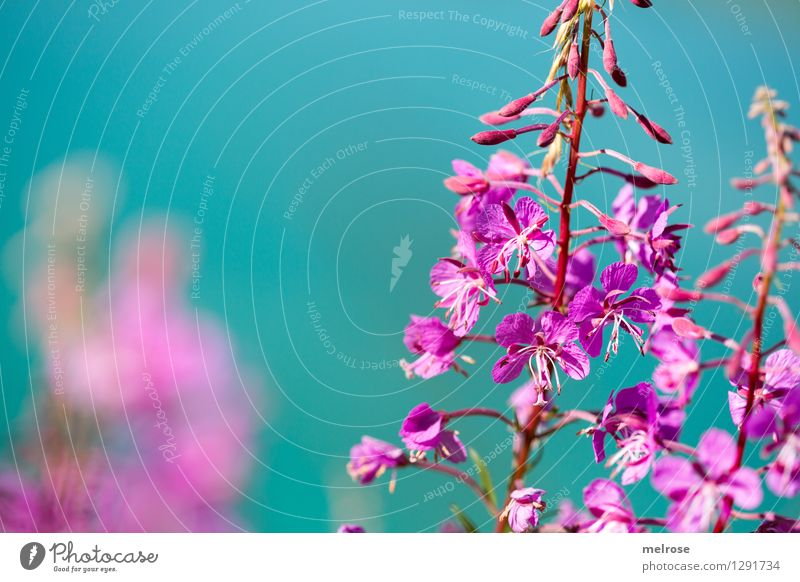 turquoise-pink Elegant Style Nature Water Summer Beautiful weather Flower Blossom Wild plant mountain flowers alpine flowers Flower stem Lakeside Lünersee Blaze