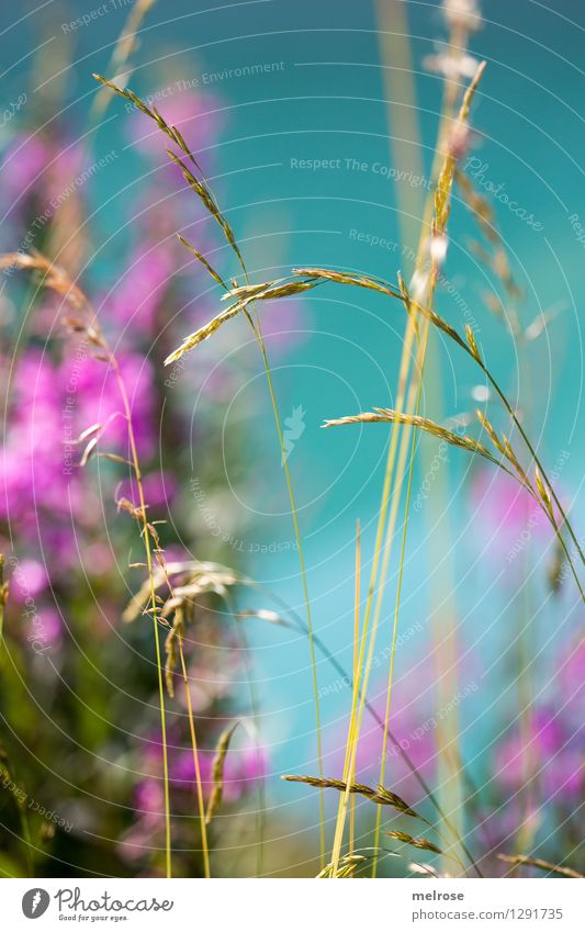Nature Green Beautiful Summer Water Relaxation Landscape Calm Blossom Grass Lake Pink Illuminate Elegant Gold Bushes