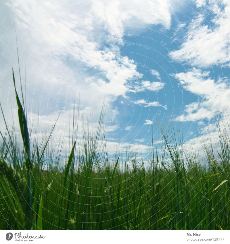 Sky Blue Green White Clouds Landscape Field Beautiful weather Agriculture Grain Americas Cornfield Juicy Heavenly Bad weather Sky blue