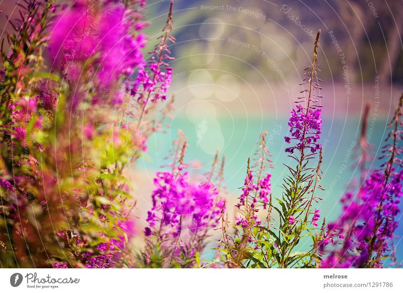 Nature Vacation & Travel Green Beautiful Summer Water Relaxation Flower Landscape Mountain Blossom Natural Lake Pink Glittering Dream