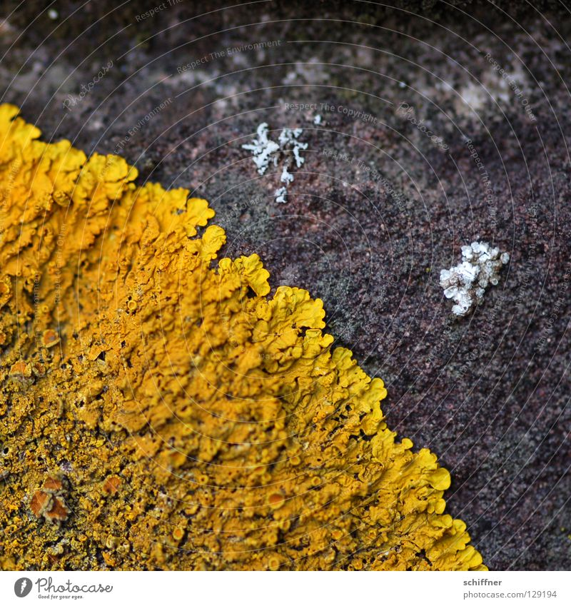 Yellow Lamp Concrete Mushroom Stick Subsoil Photosynthesis Disperse Lichen Distribute Crustose lichen