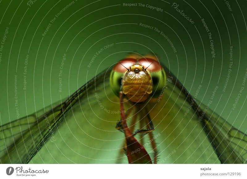 Look, look! Animal Wild animal Wing Insect Dragonfly Dragonfly wing 1 Green Goggle eyes Compound eye Frontal Saucer-eyed bubble level Eyes Colour photo