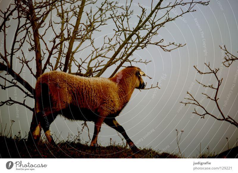Sky Tree Animal Colour Meadow Mountain Garden Park Bushes Soft Farm Pelt Agriculture Pasture Sheep