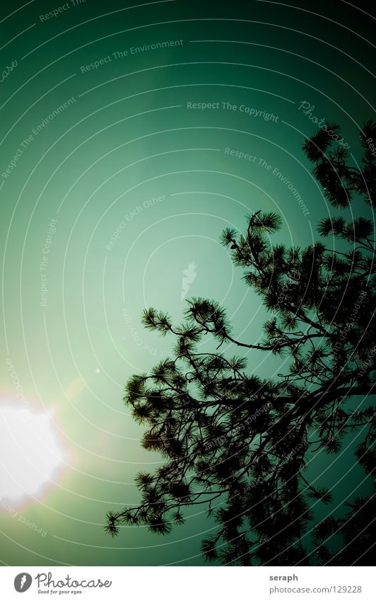 Backlight Pine Coniferous forest Tree Old Headstrong Branch Structures and shapes Forest Environment Nature Tree bark ramification Coniferous trees Abstract Sky