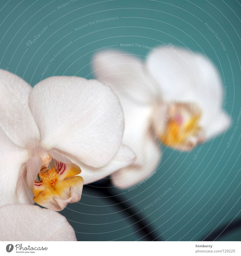 hessian oster orchids III Flower Blossom White Blossom leave Botany Summer Spring Fresh Growth Plant Red Background picture Orchid Transience Beautiful