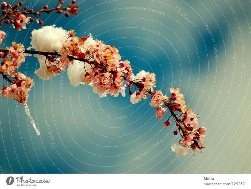 Sky Blue White Tree Clouds Cold Snow Spring Blossom Pink Park Ice Bushes Branch Blossoming Frost