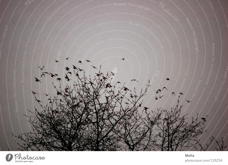 Departure in the snow flurry Environment Nature Plant Animal Winter Tree Treetop Bird Flock Flying Together Cold Natural Gloomy Many Gray Beginning Dreary