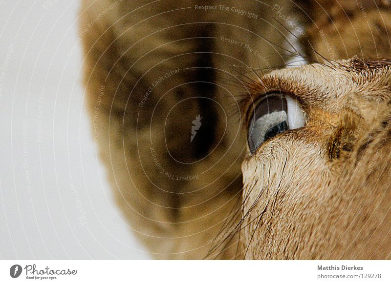Animal Death Eyes Background picture Ear Set of teeth Hunting Division Hare & Rabbit & Bunny Antlers Half Mammal Memory Pride Deer Eyelash