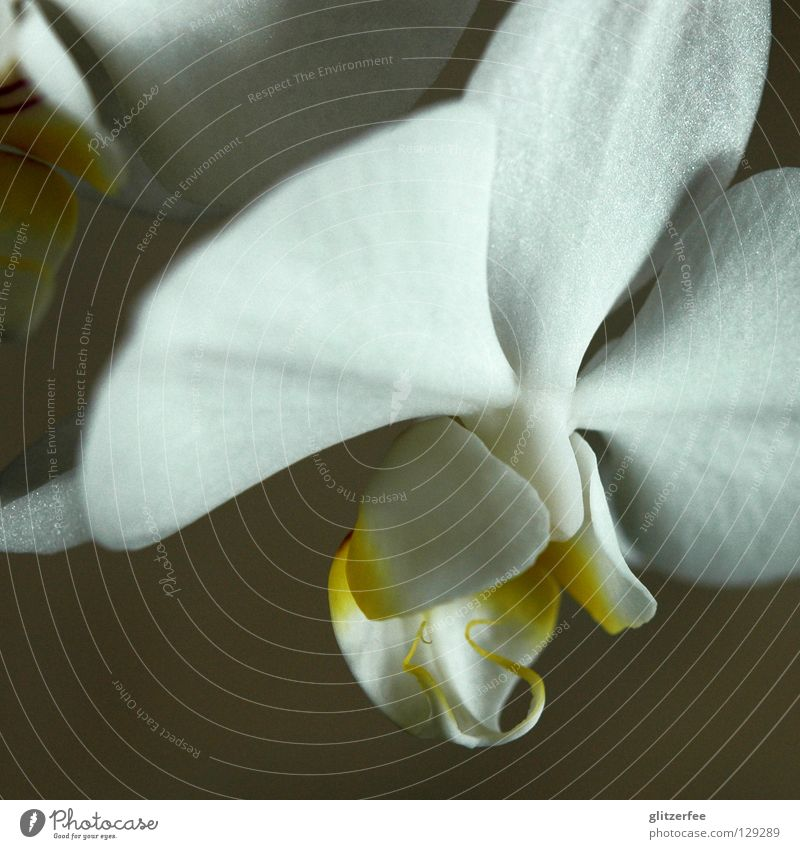 purity Orchid Flower Plant Blossom Living room Blossom leave White Yellow Pot plant Thailand Botany Growth Park Wellness Transience Joy Macro (Extreme close-up)