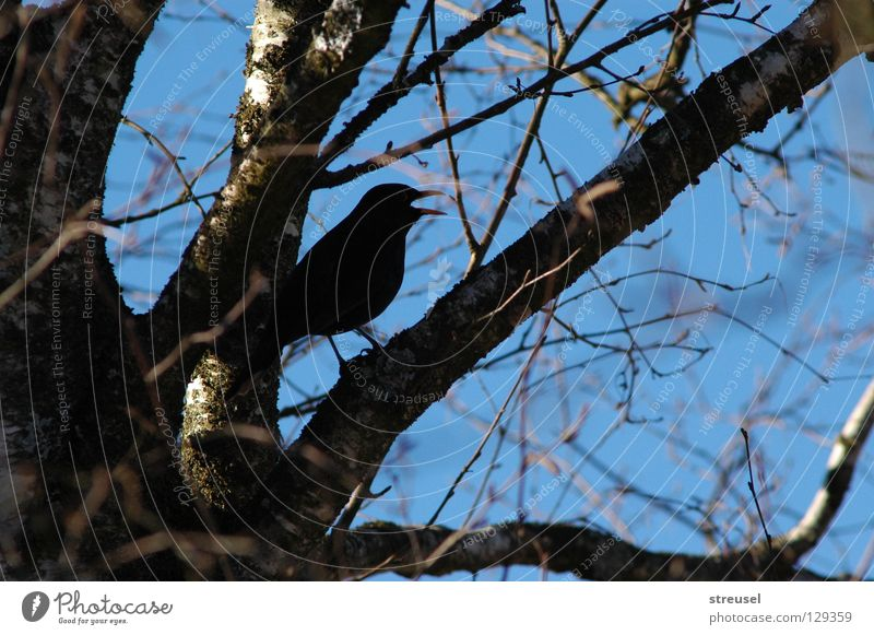 Song of the Blackbird Joy Freedom To talk Environment Nature Air Sky Spring Summer Beautiful weather Tree Bird Rutting season Observe Listening Sit Happiness