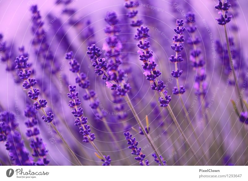 lavender Lifestyle Elegant Beautiful Cosmetics Perfume Wellness Harmonious Well-being Contentment Relaxation Fragrance Spa Agriculture Forestry Nature Plant