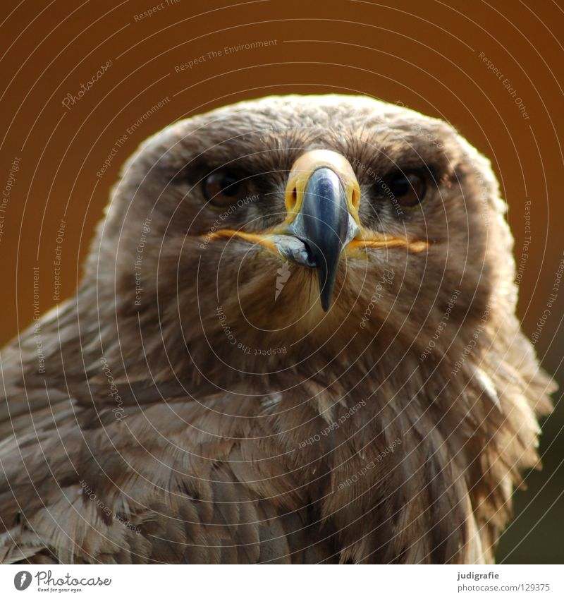 eagle Eagle Bird Bird of prey Beak Feather Ornithology Animal Beautiful Environment Colour steppe eagle Pride Looking Life Nature