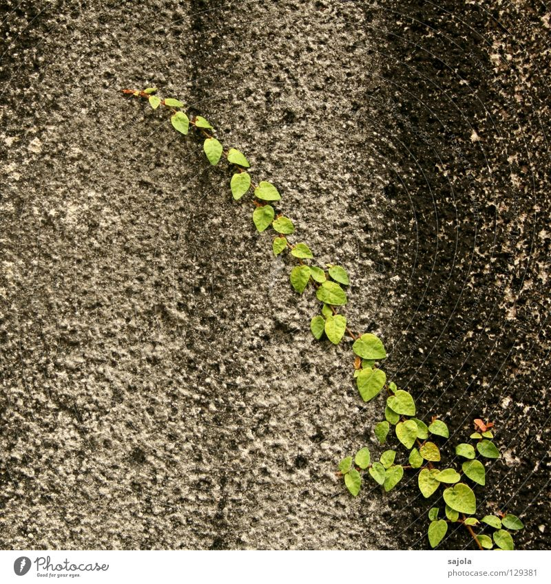 big.city.jungle.detail Plant Leaf Foliage plant Wild plant Creeper Wall (barrier) Wall (building) Stone Stripe Old To hold on Dirty Gray Green Black Striped