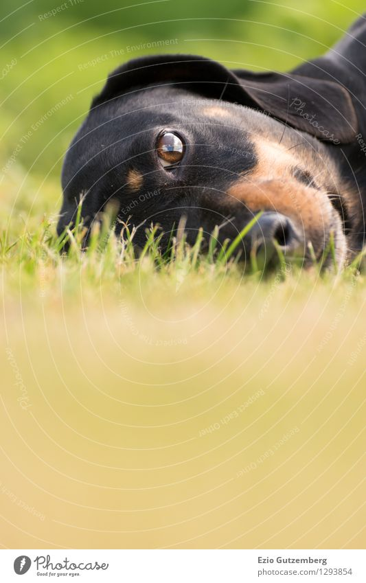 Dog Nature Plant Green Beautiful Landscape Animal Black Baby animal Meadow Grass Natural Happy Brown Lie Contentment