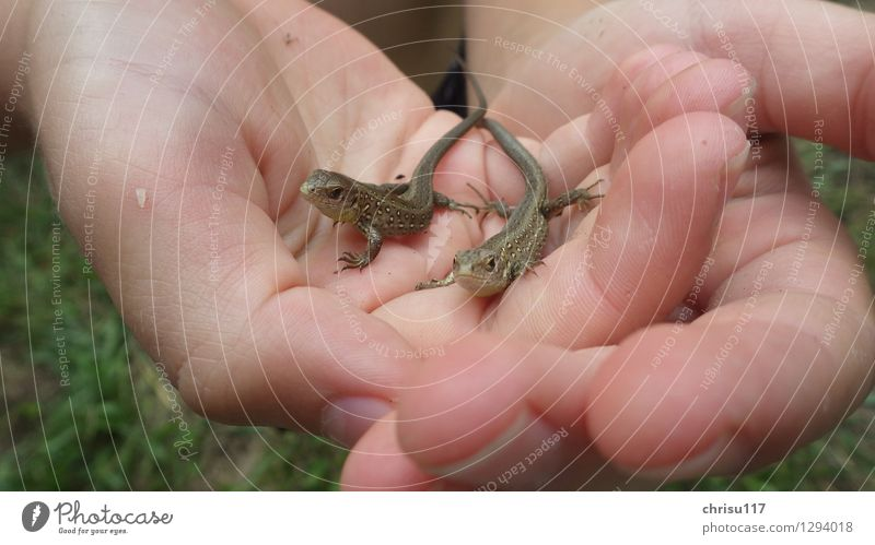 Curious double pack Nature Sun Sunlight Summer Beautiful weather Forest Animal Wild animal Sand lizard 2 Baby animal Observe Discover Looking Sit Exceptional