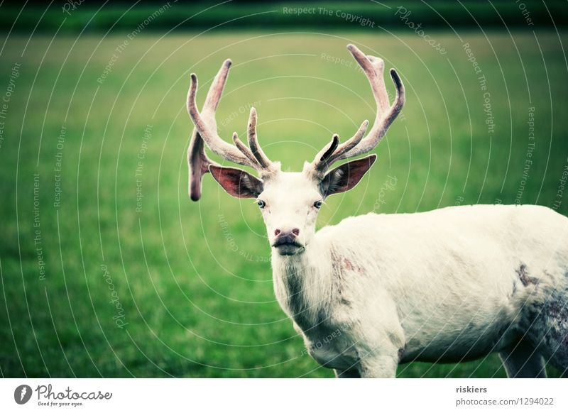 white stag with the blue eyes Meadow Animal Wild animal Deer 1 Observe Looking Wait Esthetic Curiosity Cool (slang) Power Acceptance Watchfulness Patient Calm