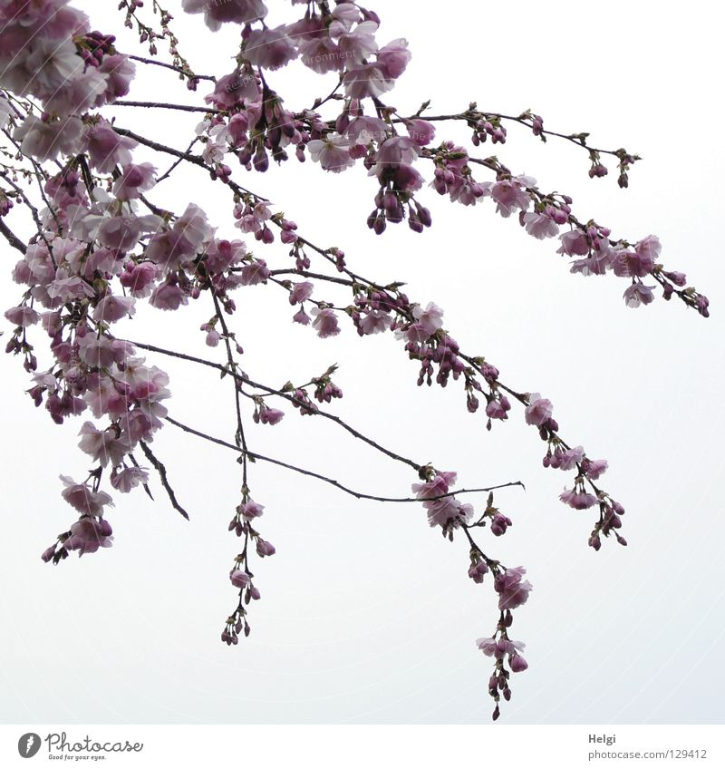 Sky White Clouds Spring Blossom Line Brown Above Pink Park Multiple Tall Blossoming Branch Many Twig