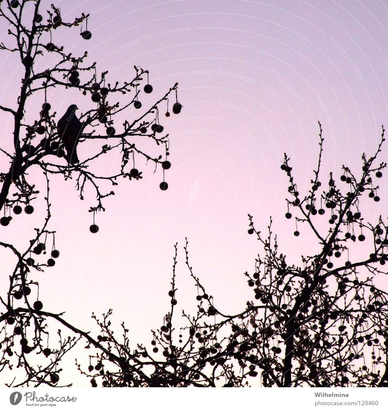 kitsch Bird Pigeon Tree Treetop Air Sunrise Sunset Romance Calm Relaxation Violet Pink Branch Twig Sphere Sky Evening Morning Kitsch Peace Contentment