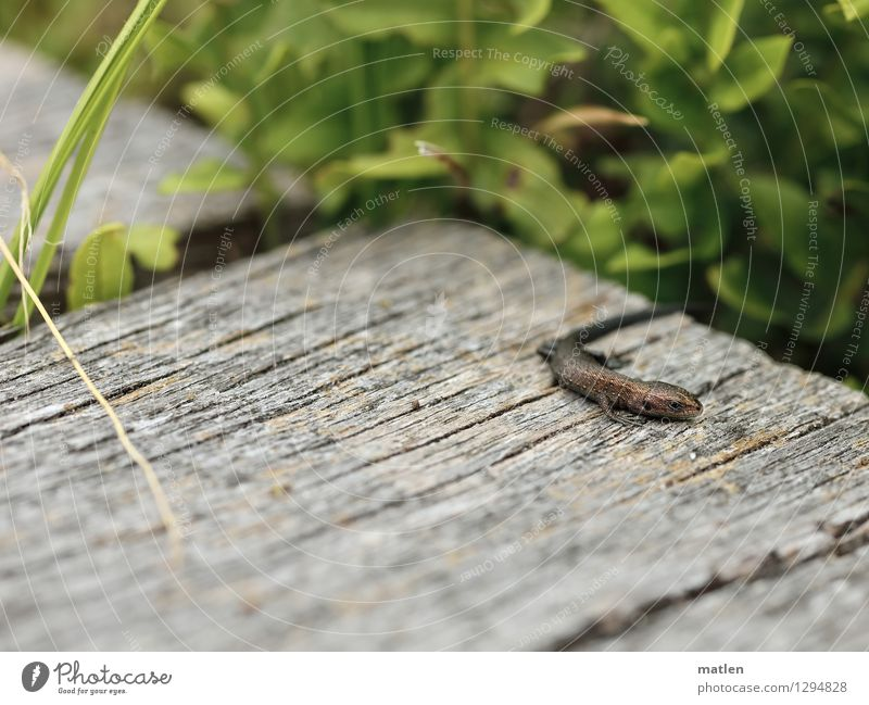 sunbathers Nature Landscape Plant Animal Summer Grass Wild animal Scales Claw 1 Brown Gray Green Lizards Baby Sunbathing Wooden board Colour photo
