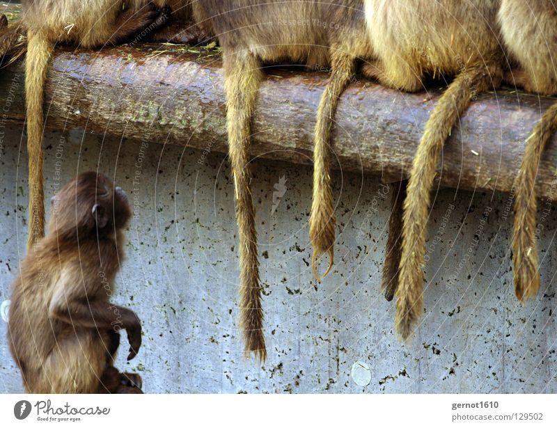 White Brown Dirty Sit Grief Might Hind quarters Branch Longing Pelt Zoo Distress Mammal Tails Monkeys Envy