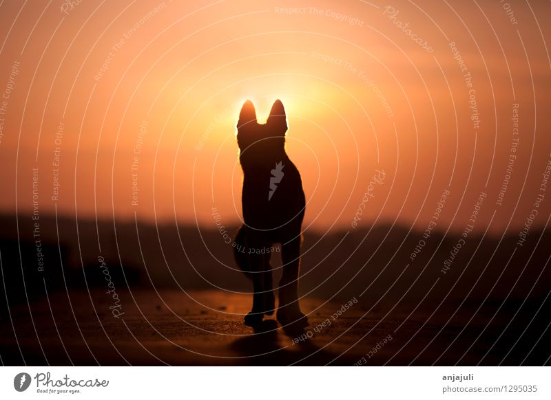 Dogs silhouette in the sunset Animal Pet 1 Going Walking Esthetic Exceptional Happy Emotions Moody Power Brave Love of animals Romance Compassion Peaceful