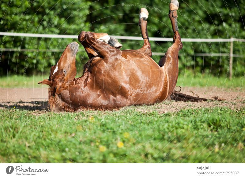 Horse lies on his back Joy Well-being Ride Animal Relaxation To enjoy Sleep Exceptional Dirty Free Glittering Funny Natural Crazy Wild Contentment Power