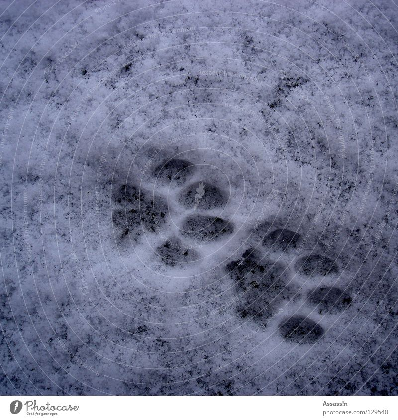 tap tap Cat Paw Gray Cold Footprint Winter Tracks White Land-based carnivore Barefoot Mammal Snow cat paw jack wolfskin track search strike out Fate Footwear