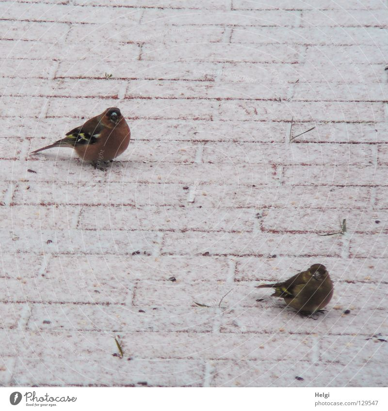 wait together.... Bird Chaffinch Together Feed Foraging Grain Winter Cold Freeze Appetite Spring December January February March Feather Plumed Beak Claw Tails
