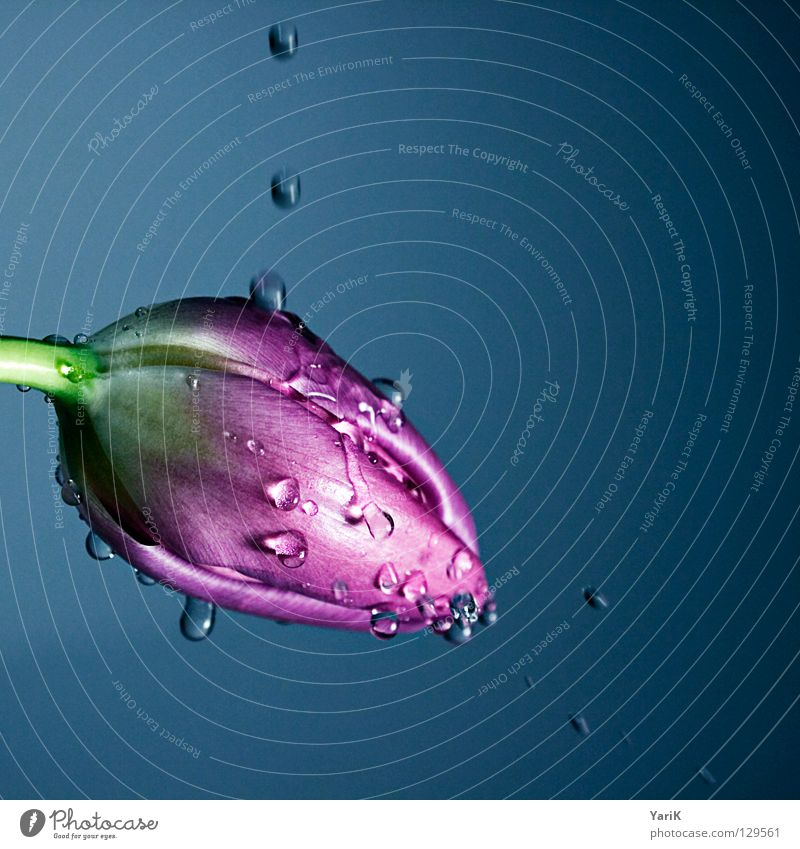 Flower Colour Blossom Spring Lamp Bright Rain Pink Wet Fresh Drops of water Force Violet Stalk Damp Watchfulness