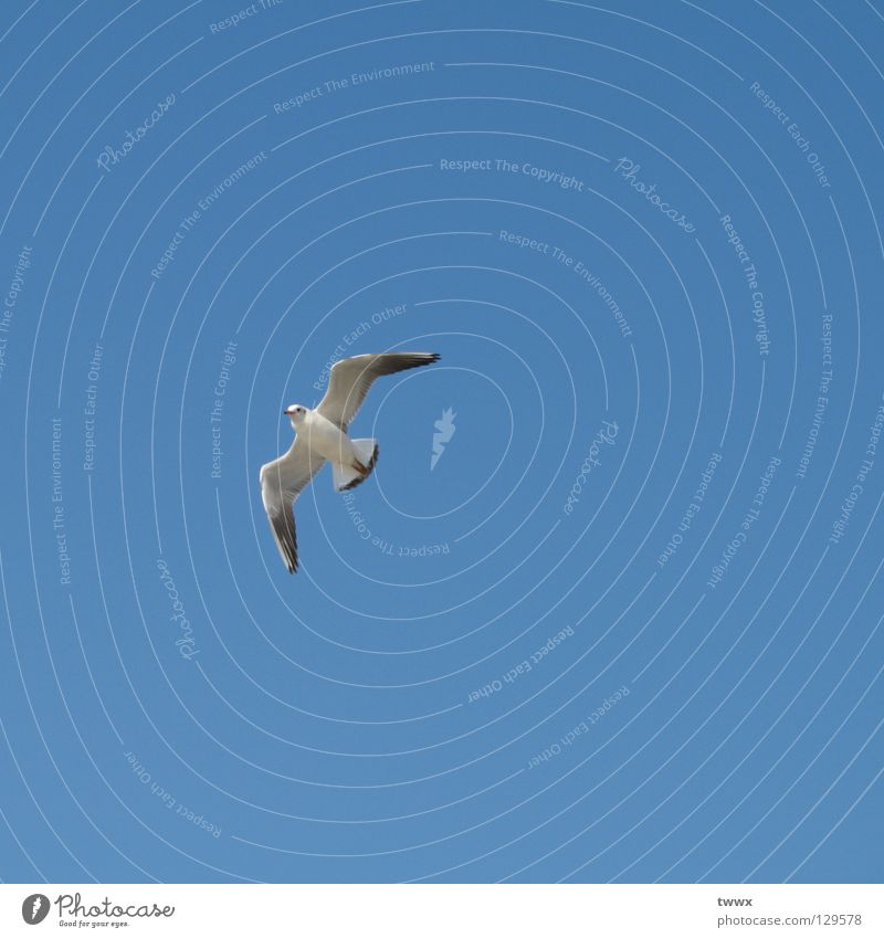 Seagull flying home Bird White Go up Upswing Sailing Gliding Expedition Lanes & trails Far-off places Freedom Air Sky Blue White-blue Clarity Considerable