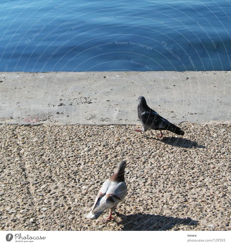 Pigeons. Waiting for the dream ship. Jetty Bird To go for a walk Going Stand Concrete Fastening Bank reinforcement Ocean Lake Pebble White Black Encounter
