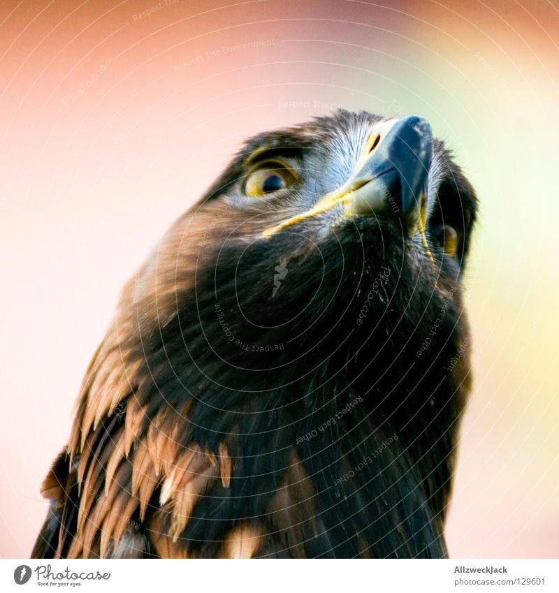 Animal Bird Power Force Might Beak Eagle Poultry Bird of prey