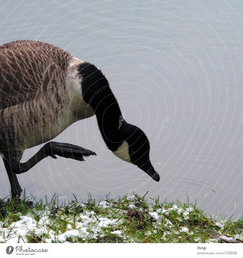 freezing cold ... Goose Wild goose Gray lag goose Bird Migratory bird Animal Water wings Fuzz Downy feather Roasted goose Lake Pond Body of water Stand White